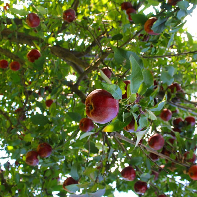 Apples, Apples, Apples! | This American House